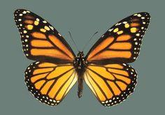 Galería - Mariposas del Norte y del Sur