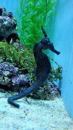Seahorse by Thom Watson, via Flickr