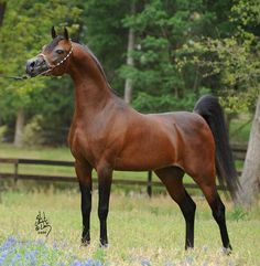 Aria Impresario :: Arabian horses of Aria International - Arabian horses, stallions, mares, colts, fillies, for sale