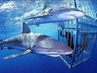 Shark dive in oahu.