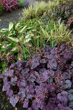 Heuchera 'Sugar Plum' (2) | Flickr - Photo Sharing!