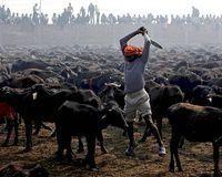 Stop animal sacrifice  Gadhimai Festival Nepal mass animal sacrifice