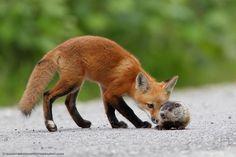 Fox kit meets baby ground hog.