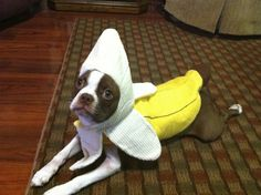 Find Out More On Cute Boston Terrier Dogs Temperament Akc Breeds, Terrier Dog Breeds, Terriers, Terrier Puppies, Boston Terrior, Boston Terrier Dog, Boston Terrier Costume, Flat Faced Dogs, Crazy Dog Lady