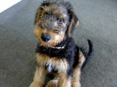14 weeks old Airedale puppy