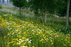 Re-seeded annuals, Fantasticology area, Olympic Park
