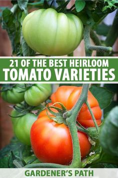 Tomatoes are a popular addition to the veggie garden. Have you tried growing heirloom varieties? Capture the texture, taste, and colors of the past with these old-fashioned favorites. Discover 21 of the best heirloom tomato varieties and choose your favorite now on Gardener's Path. #heirloom #tomatoes #gardenerspath Vegetable Garden Planning, Backyard Vegetable Gardens, Fruit Garden, Planting Vegetables, Growing Vegetables, Gardening For Beginners, Gardening Tips, Gardening Gloves, Starting Seeds Indoors