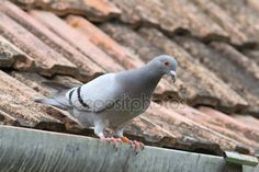 Letöltés - Fajtiszta galamb tető — Stock Kép #48829553