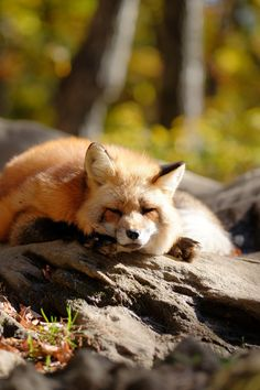 red fox + sunlight | animal + wildlife photography