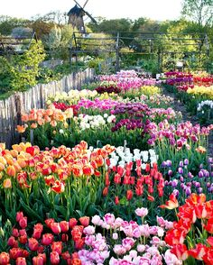 "Country Living UK: ""Tulips galore! Planted in their thousands, these glorious spring flowers put on a technicolour show…"""