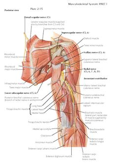 RADIAL NERVE The radial nerve to is the largest branch of the brachial plexus and is the main continuation of its posterior. Muscle Anatomy, Body Anatomy, Supraspinatus Muscle, Axillary Nerve, Nervous System Anatomy, Radial Nerve, Musculoskeletal System, Human Body Unit, Human Anatomy And Physiology