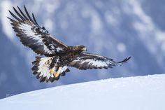 Golden Eagle Coming in for a Landing - Shot from hide in Norway Bold Eagle, Eagle Drawing, Eagle Pictures, Eagle Feathers, Eagle Bird, Big Bird, Birds Of Prey, Animals Of The World, Spirit Animal