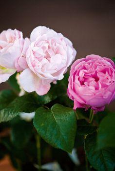 david austen roses.