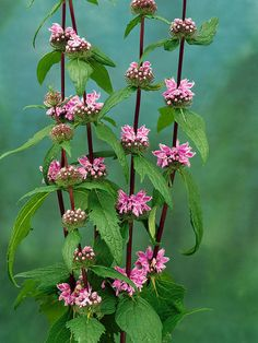 Phlomis Tuberosa Jerusalem Sage Height: Tall (Plant apart) Bloom Time: Early Summer to Late Summer Full Sun to Mostly Sunny Zones: Pink Garden, Dream Garden, Types Of Flowers, Pink Flowers, Meadow Flowers, Wildflowers, Garden Bird Feeders, Herbaceous Border, Border Plants