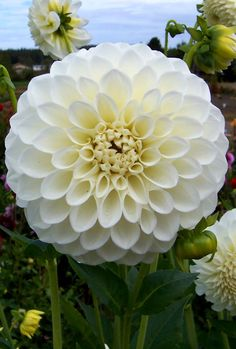 Brookside Snowball Dahlia | Brookside Snowball Dahlia ~ a classic dahlia petals flow freely from ...