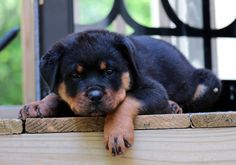 Nap time for this Rottweiler puppy