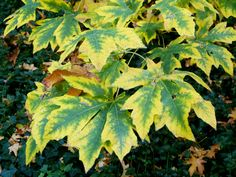 Maple leaves turning color in Lithia Park, Ashland, Oregon