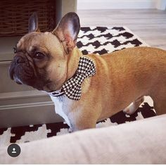 Vinny is extra dapper in his houndstooth check bow tie.  . . .  #Frenchbulldog #frenchie #frenchiesofig #instafrenchie #frenchielove #frenchbully #doglife #dogoftheday #squishyfacecrew #bullylove #thefrenchdog #etsy #Dogfashion #pamperedpets #petaccessories #houndstooth #bowtie #dogsinbowties #bowtieswag