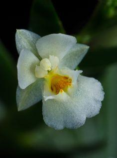Lockhartia hercodontha - Flickr - Photo Sharing!