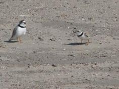 Piping Plover, Wasaga Beach Provincial Park Wasaga Beach, Great Lakes, Ontario, Canada, Park, Parks