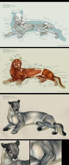Anatomy Drawing Cougar anatomy by IC-ICO on DeviantArt - Cat Anatomy, Horse Anatomy, Animal Anatomy, Anatomy Drawing, Animal Sketches, Animal Drawings, Skeleton Anatomy, Male Figure Drawing, Animal Skeletons