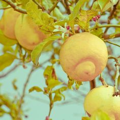 Kitchen Art - Wild Lemons in Spain Photography. $12.00, via Etsy.