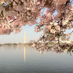 The Cherry Blossom Festival in Washington DC