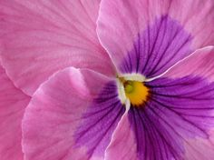 pansy pink macro photography, public domain