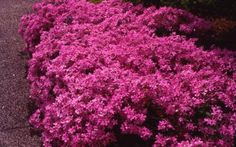Backyard/Front yard -- Prairie Phlox, another native flower garden favorite.  This University of Illinois Extension site has a great directory of native plants for Illinois, Wisconsin, Michigan, Indiana, Iowa, and Missouri