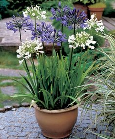 Agapanthus look a lot better in pots than I thought they would. Stops them taking over the garden too.