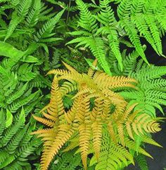 Wish List: Wood Fern for sale buy Dryopteris labordei 'Golden Mist'