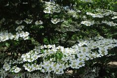 Viburnum plicatum tomentosum 'Summer Snowflake' blooms continuously all summer and into fall, a feat few hardy shrubs can match. It's also relatively compact, maturing at 6-8ft tall by 8-10 wide.