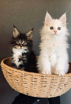 Adorable Kittens, Cute Cats, Maine Coon, Cats And Kittens, Cute Animals, Pets, Pretty Cats, Pretty Animals, Cutest Animals