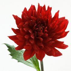 ダリア「熱唱」 - Flower File 大田市場の花き仲卸 株式会社フローラルジャパン