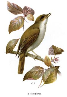 size: Giclee Print: Nightingales Art Print by English : Nightingale Tattoo, Nightingale Bird, Fine Art Prints, Framed Prints, Canvas Prints, Photographic Prints, Poster Size Prints, Photo Greeting Cards, Pet Birds