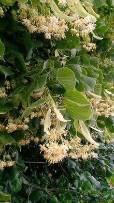 Herb Garden, Vegetable Garden, Home And Garden, Homemade Jelly, Home Canning, Natural Make Up, Medicinal Herbs, Natural Healing, Life Is Good
