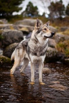 Wolfdog in the creek by Martin Janecek on 500px