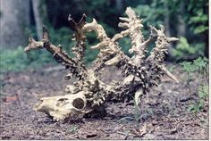 """In October 1989, a hunter from Ohio, Lionel Crissman, made an astonishing discovery. He discovered the skeleton of a deer whose plume sported almost 1000 points."""