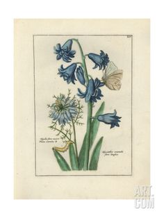 Hyacinth and Love in a Mist Giclee Print at Art.com