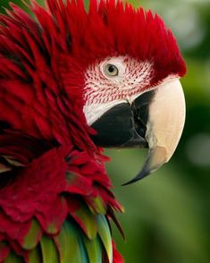 Bird story Green-Winged Macaw - untitled / by Michael (Miche) Spring Tropical Birds, Exotic Birds, Colorful Birds, Colorful Parrots, Pretty Birds, Beautiful Birds, Animals Beautiful, Stunningly Beautiful, All Birds