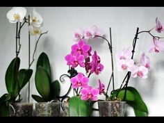 Mini phalaenopsis moth orchids in bloom. Moth Orchid, Orchid Plants, Orchid Care, Indoor Orchids, Indoor Plants, Growing Orchids, Citrus Trees, Potting Soil, Garden Care