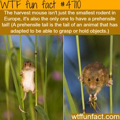 The harvest mouse, and it's Tail! - WTF! awesome fun facts