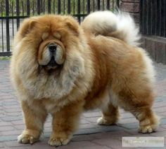 ♥DS♥ 105 Chow Chow
