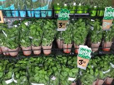 Trader Joe's Fresh Basil plants and other herbs. These guys are both bigger and hardier than basil plants I've bought elsewhere.