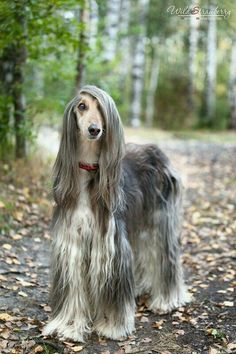 Image result for afghan hound mixed with pitbull