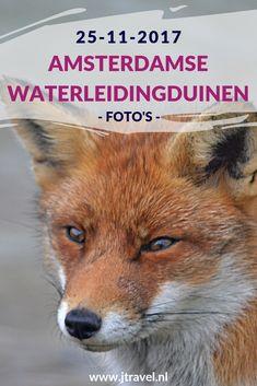 In november 2017 maakte ik opnieuw een wandeling in de Amsterdamse Waterleidingduinen. Ik liep vanaf de ingang Panneland en ging opnieuw op zoek naar vossen. Ik heb deze dag verschillende vossen en veel damherten gespot en genoot van de schitterende natuur. Kijk je mee wat ik allemaal zag? #awd #amsterdamsewaterleidingduinen #vos #vossen #damherten #wandelen #hiken #natuur #jtravel #jtravelblog #fotos