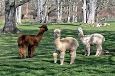 Krystal Acres Alpaca Farm and Country Store We have the largest herd of Alpacas in the San Juans.The farm is a must-SEE stop on your visit to the Islands. The farm is open: 10 to 5 daily from April thru December 11 to 4 daily January thru March