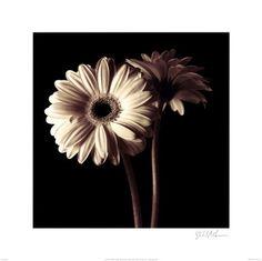 Black and white gerbera daisies