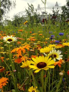 wild flower meadow at olympic park, stratford, east london from Curlew Country
