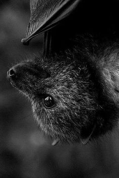Fox Bat-They eat Fruit😍 Creatures Of The Night, All Gods Creatures, Murcielago Animal, Beautiful Creatures, Animals Beautiful, Animals And Pets, Cute Animals, Fruit Bat, Eat Fruit